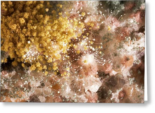 Mould On Bread Greeting Card by Science Photo Library