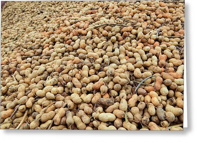 Mound Of Peanuts At Peanut Facility Greeting Card