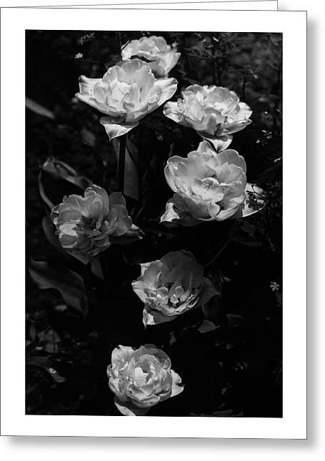 Mount Tacoma Tulips Greeting Card