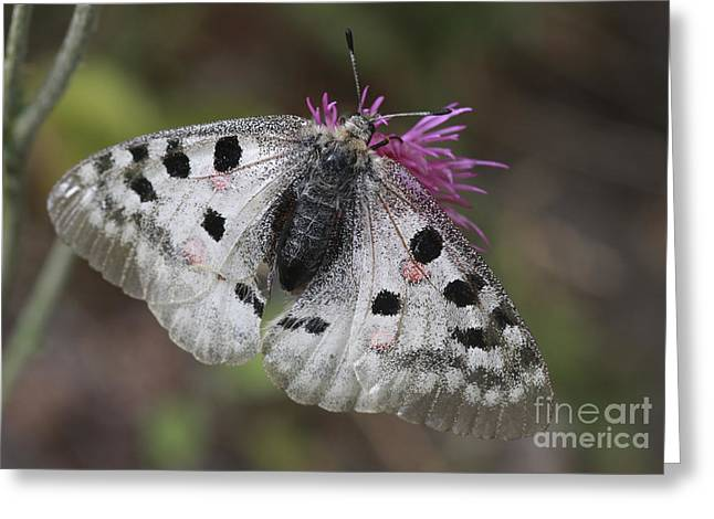 Mountain Apollo Parnassius Apollo Greeting Card by Amos Dor