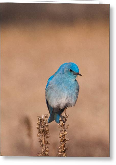Greeting Card featuring the photograph Mountain Bluebird by Cascade Colors