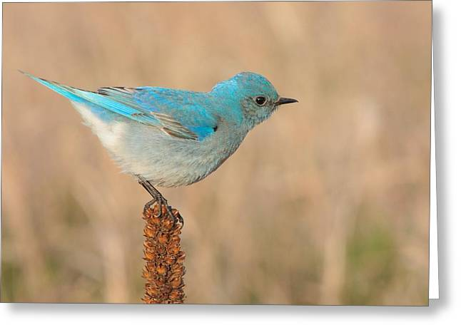 Mountain Bluebird Greeting Card