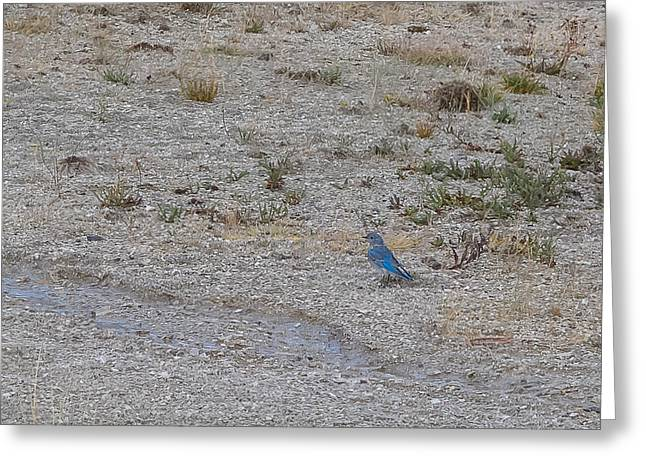 Mountain Bluebird  Greeting Card by Lars Lentz