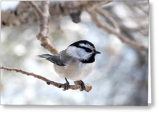 Mountain Chickadee On Branch Greeting Card