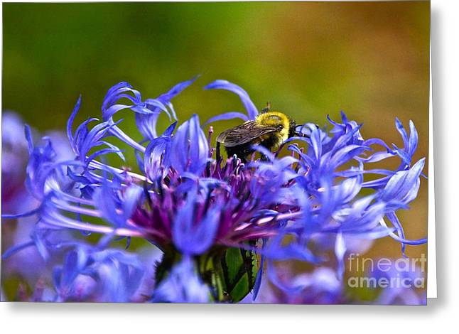 Centaurea Montana Greeting Cards - Mountain Cornflower and Bumble Bee Greeting Card by Byron Varvarigos