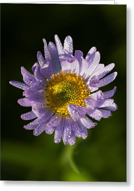 Mountain Daisy Greeting Card by Mark Kiver