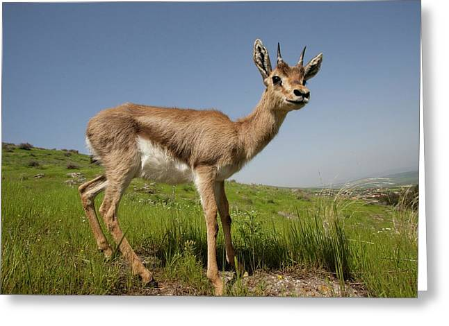 Mountain Gazelle (gazelle Gazelle) Greeting Card by Photostock-israel