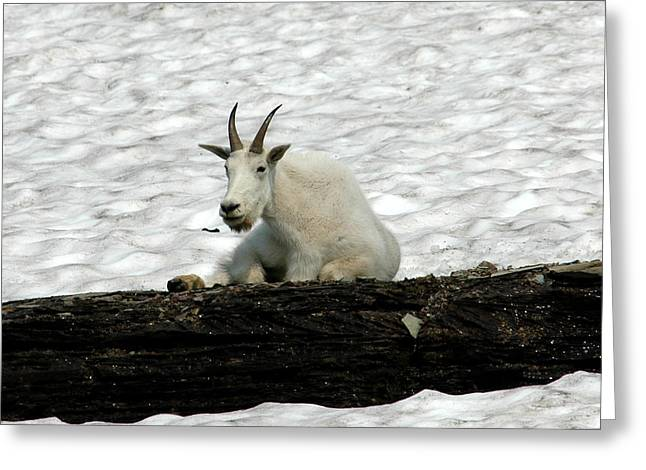 Greeting Card featuring the photograph Mountain Goat by David Armstrong