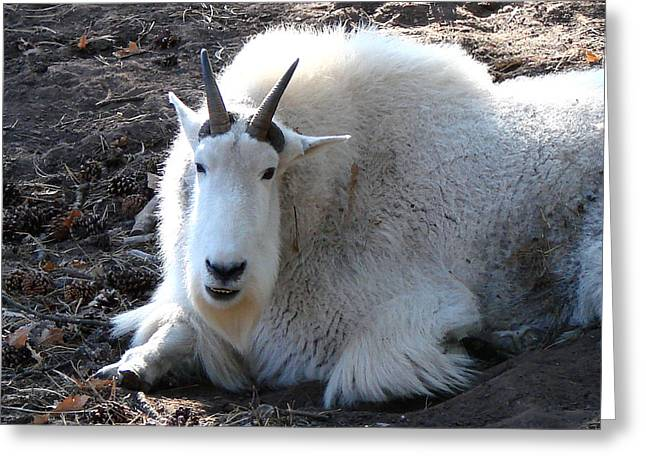 Mountain Goat Greeting Card by Linda Cox
