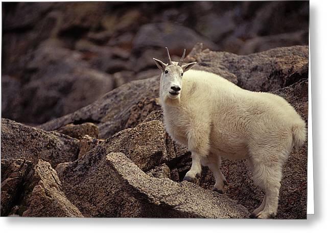 Mountain Goat Nanny Greeting Card
