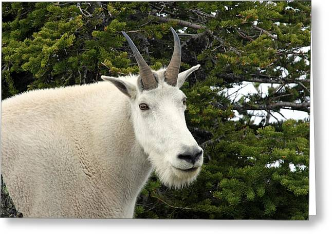 Mountain Goat On Hurricane Hill Greeting Card by Marie Jamieson