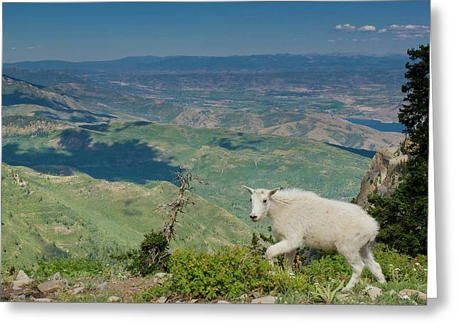 Mountain Goat, Oreamnos Americanus Greeting Card by Howie Garber