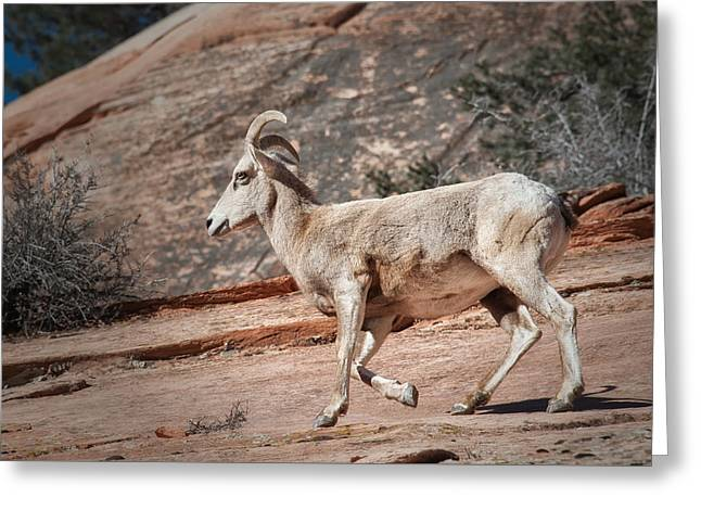 Greeting Card featuring the photograph Big Horn Sheep by Tyson and Kathy Smith