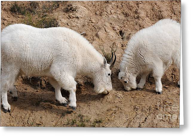 Greeting Card featuring the photograph Mountain Goats At The Salt Lick by Vivian Christopher