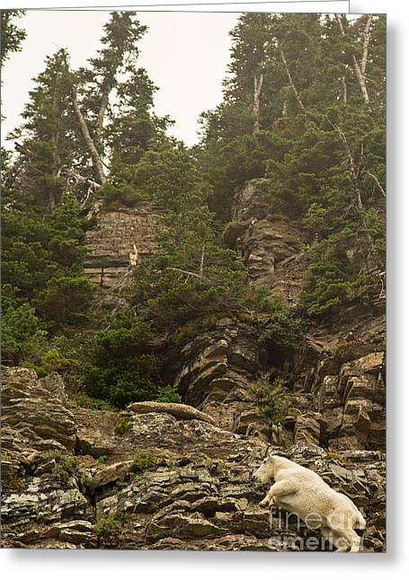 Mountain Goats In Glacier 2 Greeting Card by Natural Focal Point Photography