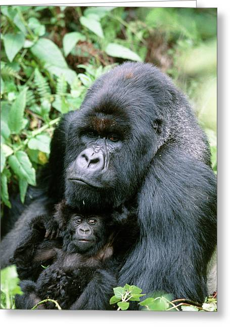 Mountain Gorilla And Infant Greeting Card