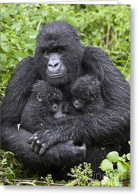 Mountain Gorilla Mother And Twins Greeting Card