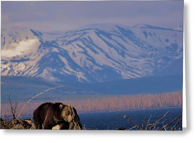 Mountain Grizzly Greeting Card by Dan Sproul