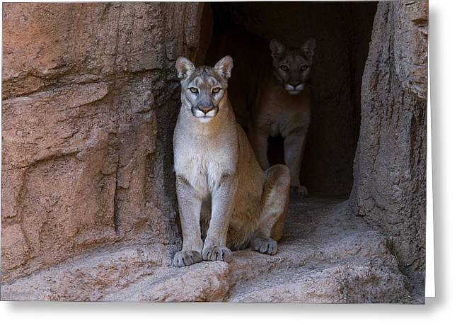 Greeting Card featuring the photograph Mountain Lion 1 by Arterra Picture Library