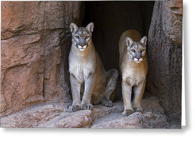 Greeting Card featuring the photograph Mountain Lion 2 by Arterra Picture Library