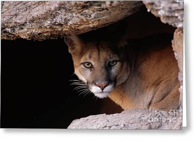 Mountain Lion Peering From Cave Greeting Card by Yva Momatiuk John Eastcott