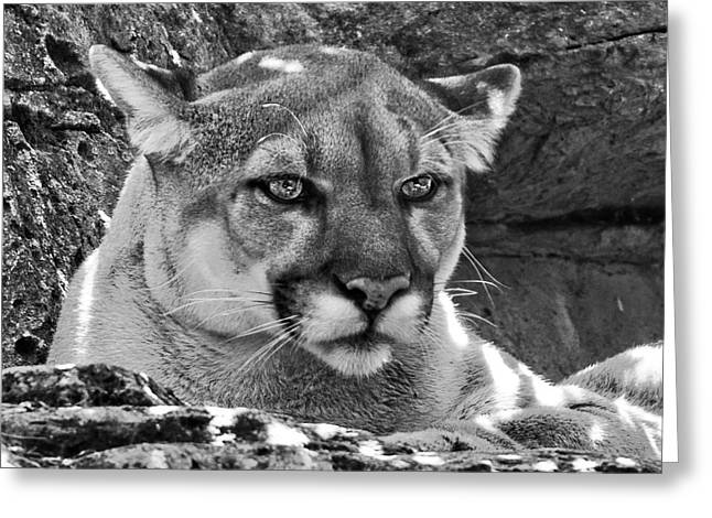Mountain Lion Bergen County Zoo Greeting Card