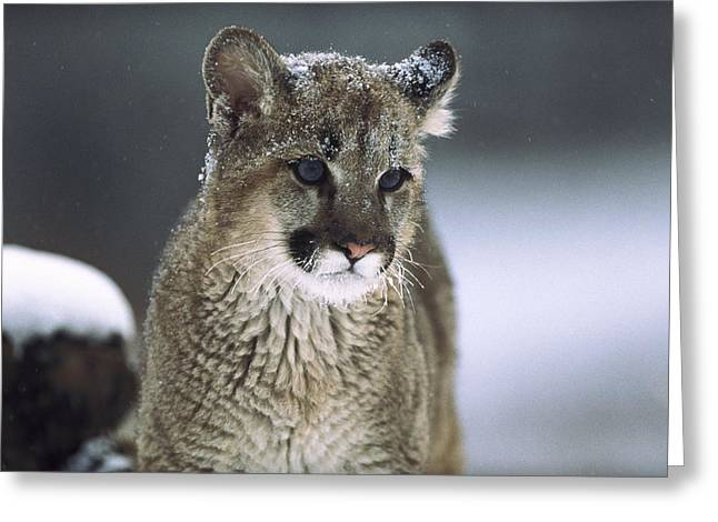 Mountain Lion Cub In Snow Montana Greeting Card