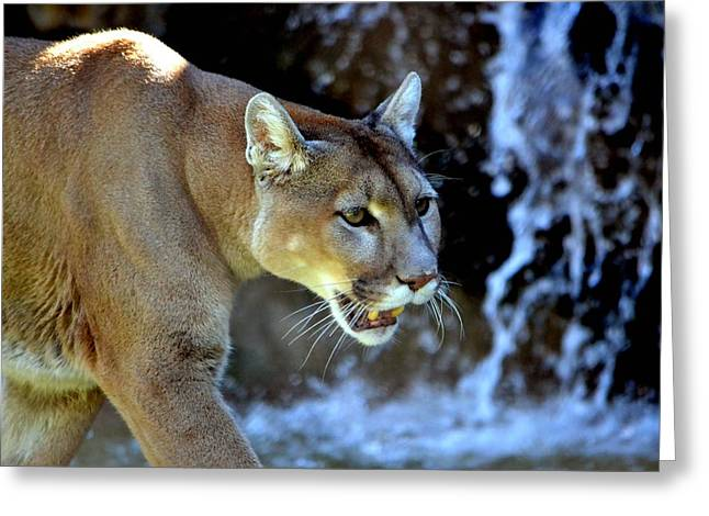 Mountain Lion Greeting Card by Deena Stoddard