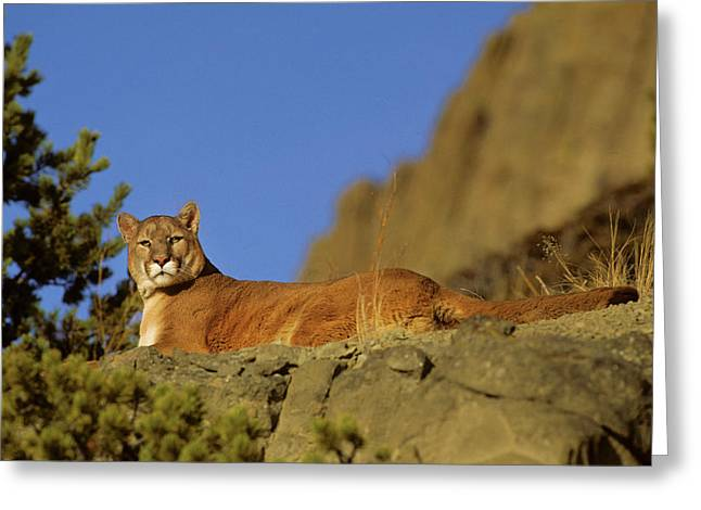 Mountain Lion (felis Concolor Greeting Card