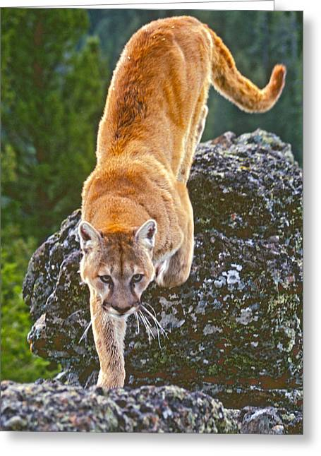 Greeting Card featuring the photograph Mountain Lion by Judi Baker
