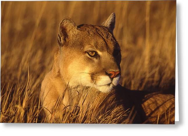Mountain Lion Montana Greeting Card