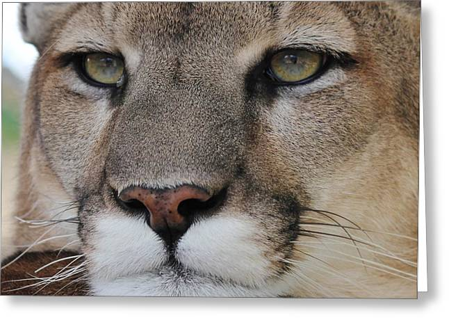 Mountain Lion Portrait 2 Greeting Card