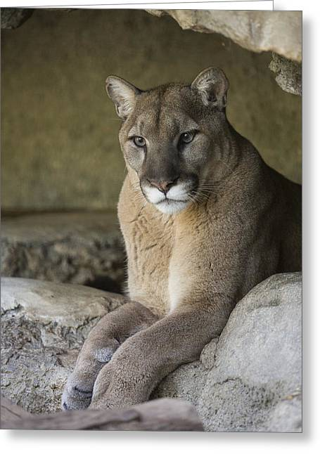 Mountain Lion Greeting Card by San Diego Zoo