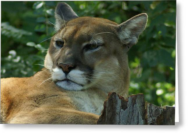 Mountain Lion Greeting Card by TnBackroadsPhotos