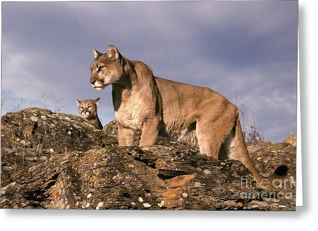 Mountain Lions Felis Concolor Greeting Card by Ron Sanford