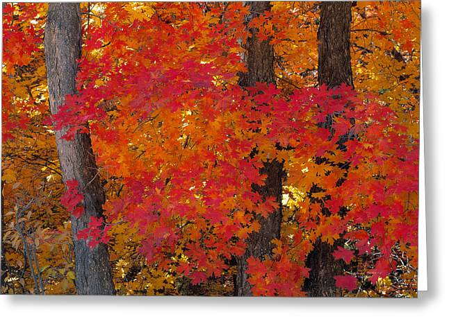 Mountain Maple Tree Greeting Card by Leland D Howard