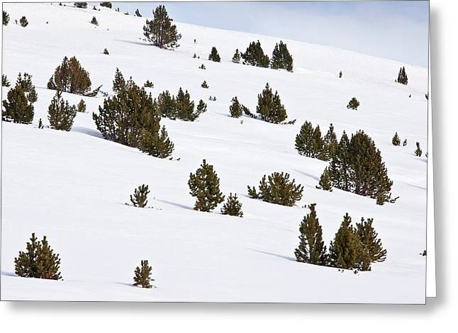 Mountain Pine (pinus Mugo) Trees In Snow Greeting Card by Bob Gibbons