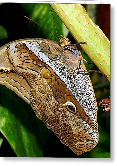 Greeting Card featuring the photograph Mournful Owl Butterfly by Amy McDaniel