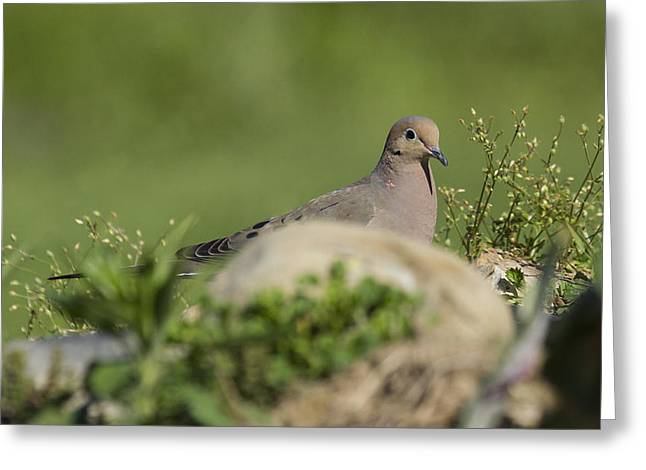 Mourning Dove 1 Greeting Card