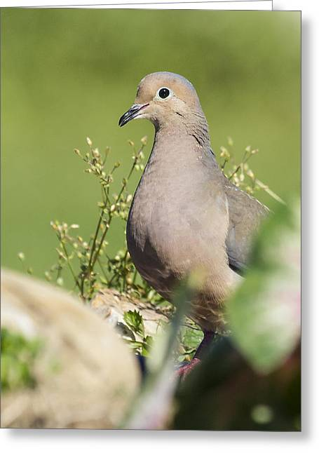 Mourning Dove 2 Greeting Card by David Lester