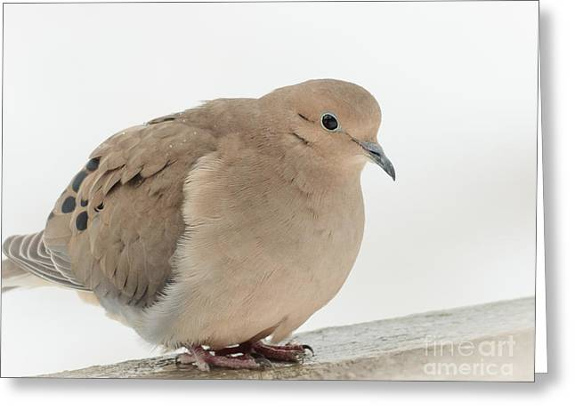 Mourning Dove Greeting Card