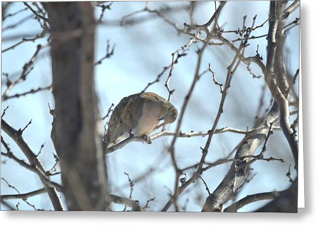 Greeting Card featuring the photograph Mourning Dove by Dacia Doroff