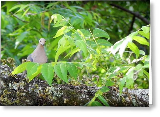 Mourning Dove Greeting Card by Lynn Griffin