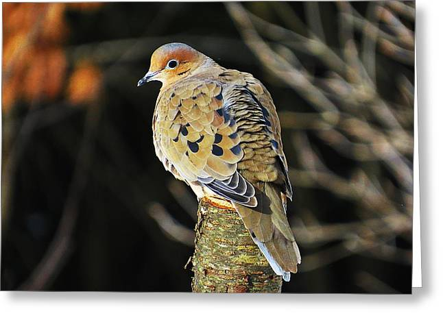 Mourning Dove On Post Greeting Card