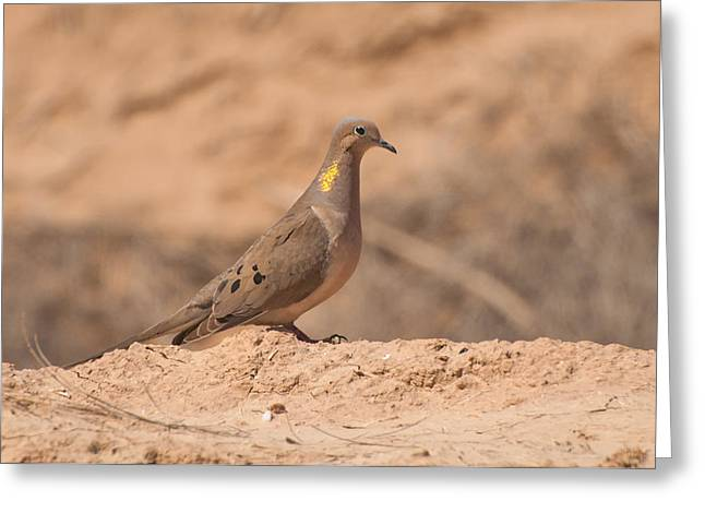Mourning Dove Greeting Card by Rich Leighton