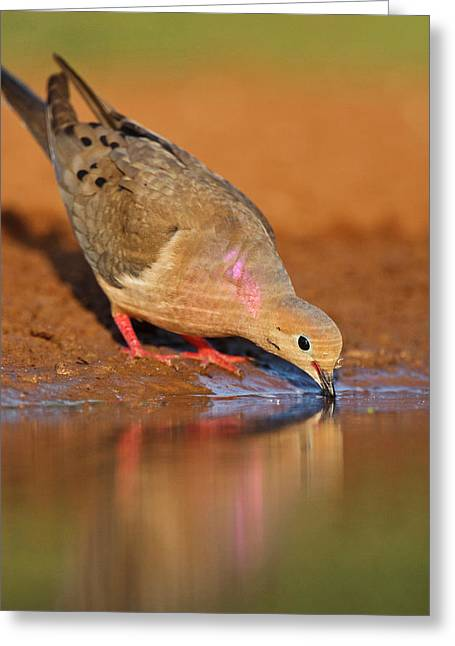 Mourning Dove (zenaida Macroura Greeting Card by Larry Ditto