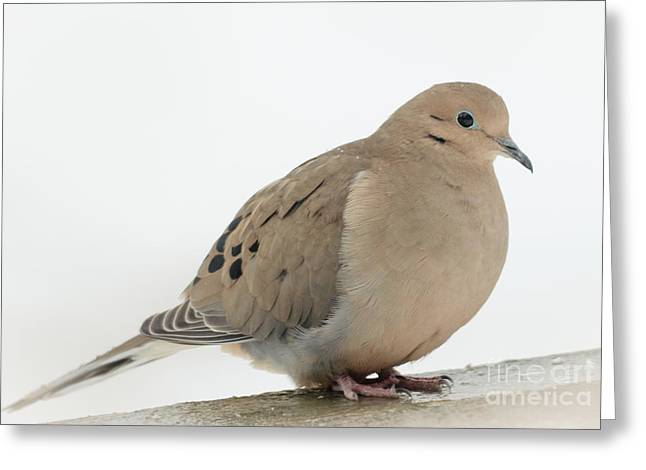 Mourning Dove2 Greeting Card