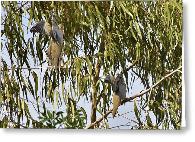 Mourning Doves Landing In Eucalyptus  Greeting Card by Linda Brody