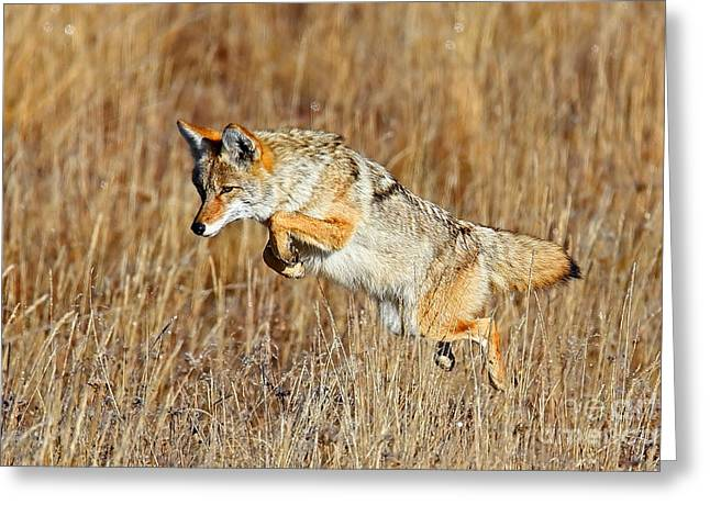 Mousing Coyote Greeting Card