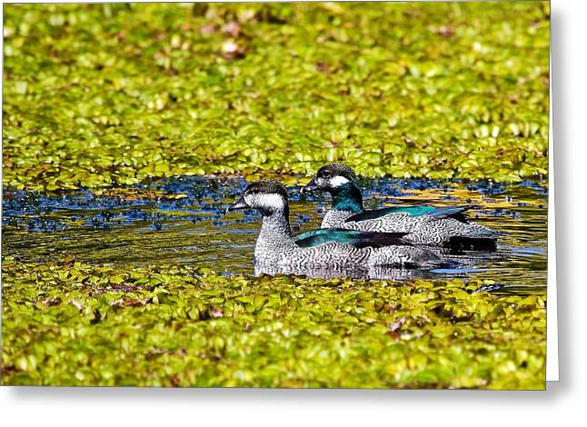Mr And Mrs Green Pygmy Goose Greeting Card